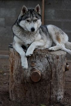 Wonderful All About The Siberian Husky Ideas. Prodigious All About The Siberian Husky Ideas. Alaskan Husky, Siberian Husky Puppies, Husky Puppy, Siberian Huskies, Husky Breeds, Dog Breeds, Beautiful Dogs, Animals Beautiful, Mastiff