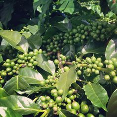 It's just a matter of time for these to become a delicious cup of coffee.   www.hondurascoffeefamily.com