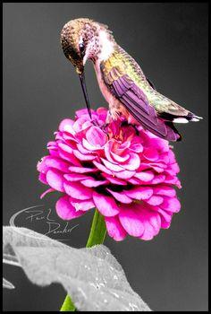 Hummingbird on a dahlia