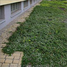 Cotoneaster procumbens 'Queen of Carpets' - Irga rozesłana 'Queen of Carpet' przykład zastosowania w zieleni miejskiej