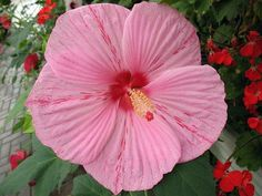 Peppermint Schnapps Giant Hibiscus Rose Mallow - Huge Flowers - Gallon Pot