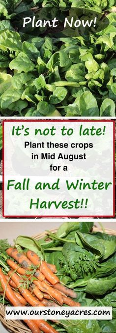 August #4 - Mid August is not too late. There are still several plants you can get planted in mid August that will give you are great fall and winter garden!