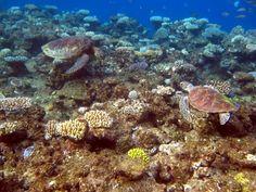 Australia - Great Barrier Reef - Miln Reef - Two sea turtles