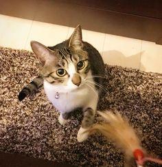 Favorite toy🐈ring ring♪ 猫じゃらしが1番お気に入り🐈 #お豆🐈の記録#猫#ねこ#cat #ねこ部 #きじしろ #ねこすたぐらむ#にゃんすたぐらむ#ねこら部#はちわれ #ねこのいる生活 #猫好きさんと繋がりたい #猫のいる暮らし #保護猫#愛猫 #catsofinstagram#catstagram#ilovemycat#cats_of_instagram#instacat#cutecat#catlover#catloversclub#like4like #instagood #photooftheday#kitten#catlife#petstagram #gato