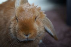 Tyron a cute bunny on Yummypets.com #cute #animal #pet #bunny #rabbit #ginger Discover other photos HERE ==> http://fr.yummypets.com/pic/2279500