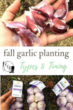 garlic bulbs in the fallYou can find Planting garlic in fall and more on our website. Planting Garlic In Fall, Purple Garlic, Garlic Bulb, Fall Plants, Planting Bulbs, Autumn Garden, Herb Garden, Herbalism, Organic