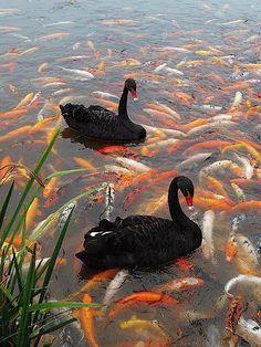 black swans on koi pond