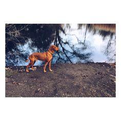 #berlin #tiergarten with #sandorthevizsla  #vizslasofinstagram #dog #park #iphoneonly