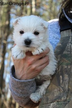 Westie Puppies For Sale & West Highland Terrier Litters Westie Puppies For Sale, Dogs And Puppies, Highlands Terrier, West Highland Terrier, Norwich Terrier Puppy, White Terrier, Jack Russell Terrier, Humor, Westies