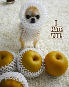 LOL!  Looks like something I would do with my Chihuahua, and bet she is thinking the same thing!