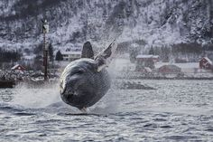 Nature photographer Karl-Otto Jacobsen took this shot of a Humpback whale outside Tromsø, NORWAY, on November 13. 2014