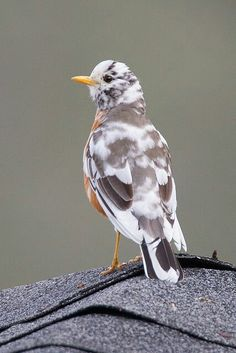Unusual American Robin