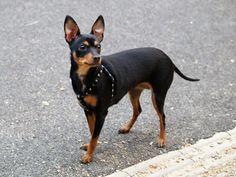 what does a miniature doberman pinscher look like Mini Pinscher, Miniature Doberman Pinscher, Mini Doberman, Doberman Puppies For Sale, Miniature Puppies, Doberman Pinscher Puppy, Black Dogs Breeds, Rare Dog Breeds, Small Dog Breeds