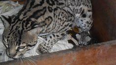 December 29 2013, new baby Ocelot at Chapultepec Zoo (México City Mexico).