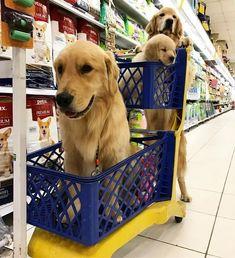 La famille golden font leurs courses