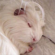 guinea pig sleeping with eyes closed - awe, too cute