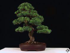 Pinus Pentaphylla  (prawa autorskie zdjęcia, Roman Bony