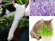 Herbs for cats: A small garden just for the kitty - Katzen - Toxic Plants For Cats, Cat Safe Plants, Cat Plants, Flea Shampoo For Cats, Pet Dogs, Dog Cat, Siberian Cats For Sale, What Cats Can Eat, Warrior Cats Books