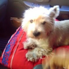 "Lost Pets of Southern California Page Liked · September 11 ·     #LOST #LomaLinda (Mountain view & van leuvan) #CA Lucky - male West Highland White Terrier Westie. White. Call (909) 521-5418 or email cyolanda046@gmail.com if found or seen. Missing 03-02-2015. SanBernardino County 92354. Message:""Ears are cropped.""   More Info: http://www.helpinglostpets.com/petdetail/?id=749909 Let's get this Dog home!"