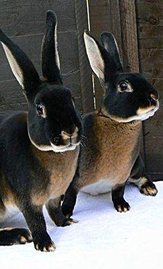 Black Otter Rex Rabbits - Country ♥ Lane