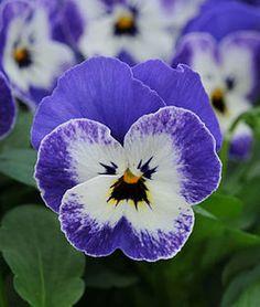 Viola, Sorbet Delft Blue,