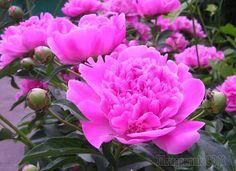 Если у вас есть дача, то вы наверняка сажаете на ней цветы. Если же вы никак не можете определиться с конкретным видом, то обратите внимание на пионы. Они очень красивы, но требуют определённого ухода...