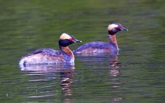 photo by Henry McLin: Horned grebes