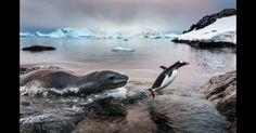 """""""O Pinguim Sortudo"""". Este pinguim escapou por muito pouco de ser devorado por uma foca leopardo.  Fotografia: Paul Souders, de Seattle, Washington, USA."""
