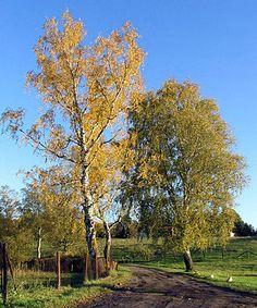 """""""Die Buchenartigen (Fagales) sind eine Ordnung der Bedecktsamigen Pflanzen (Magnoliopsida).""""  Birkengewächse (Betulaceae) Kasuarinengewächse (Casuarinaceae) Buchengewächse (Fagaceae) Walnussgewächse (Juglandaceae) inklusive Rhoiptelea Gagelstrauchgewächse (Myricaceae) Scheinbuchengewächse (Nothofagaceae) Ticodendraceae  Birken (Betula) im Herbst"""