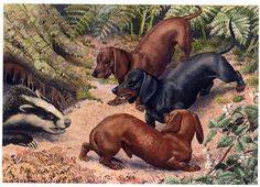 hunting dachshunds | 623D Hunting Dachshunds c 1950 by Charles Tunnicliffe