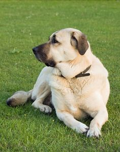 Anatolian Shepherd: one of the Livestock Guard Dog Breeds Guard Dog Breeds, Big Dog Breeds, Dog Breeds List, Anatolian Shepherd Puppies, Shepherd Dog, Kangal Dog, Cold Weather Dogs, Education Canine, Mountain Dogs
