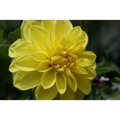 Yellow Delight Decorative Dahlia - 2 Bulb Clumps