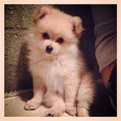 Cutest Pomeranian