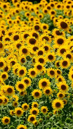Sunflowers Happy Flowers, All Flowers, Amazing Flowers, Sunflower Quotes, Sunflower Pictures, Gifs, Woven Dining Chairs, Samsung Galaxy Wallpaper, Sunflower Wallpaper