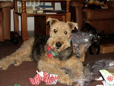 Very funny (and true!) article about the breed. Dog Breed Facts Airedale Terrier by Melissa Bowersock | Critters 360 So very fun and so very true. A must read.