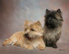 Cairn Terrier | Cairn Terrier Gallery