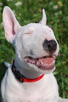 Bull terrier puppy by Eladon, via Dreamstime