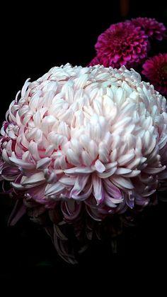 Crysanthenum by Lozzar Flowers & Art