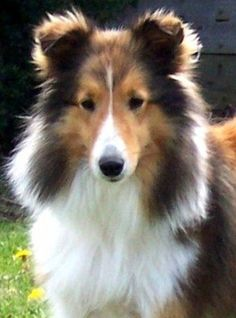 Shetland Sheepdog Dog Breed... make me miss lady so much!! :(!