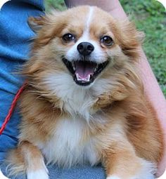 Yardley, PA - Pomeranian. Meet Gtits B, a dog for adoption. http://www.adoptapet.com/pet/13375259-yardley-pennsylvania-pomeranian