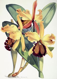 Cattleya Dowiana Painting by Walter Hood Fitch