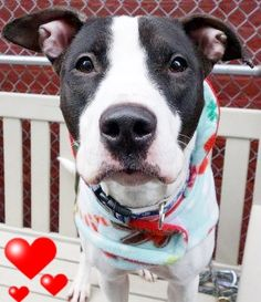 SAFE❤️❤️ 9/13/16 BY LOOKING GLASS ANIMAL RESCUE❤️❤️ THANK YOU❤️❤️ RETURNED 9/4/16 PET CONFL!! SUPER URGENT Manhattan Center - SAFE 1-31-2016 Manhattan Center SYBIL – A1063074 SPAYED FEMALE, BLACK / WHITE, AM PIT BULL TER, 1 yr, 4 mos OWNER SUR – EVALUATE, NO HOLD Reason NO TIME Intake condition EXAM REQ Intake Date 01/16/2016 http://nycdogs.urgentpodr.org/sybil-a1063074/