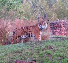 We want to introduce you to one of the tigers you may see along the winding trails of Maharajah Jungle Trek—Meet Malosi! Disney Cruise Line, Disney Fun, Park 24, In The Zoo, Disney World Parks, Adventures By Disney, Animals Of The World, Animal Kingdom, Disneyland