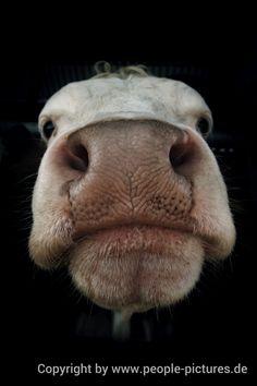Porträt einer Kuh von mikz1979