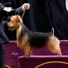 Arista Australian Terriers Australian Terrier Puppies, Norfolk Terrier Puppies, Terrier Rescue, Terriers, Small Dog Breeds, Small Breed, Cute Animals, Pets, Yorkies