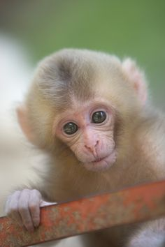 Baby Japanese Macaque (Snow Monkey) by Masashi Mochida Cute Baby Monkey, Cute Baby Animals, Animals And Pets, Funny Animals, Monkey Pictures, Cute Animal Pictures, Kittens And Puppies, Baby Kittens, Types Of Monkeys