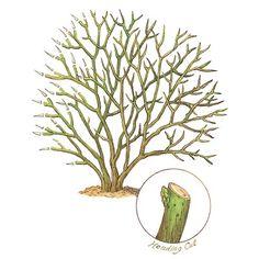 The secret to reshaping a lopsided shrub. | Illustration: Elizabeth Traynor | thisoldhouse.com
