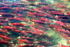 Every four years, tens of millions of red salmon return from riding the Arctic currents of the Pacific, struggling upstream through the Fraser Canyon rapids in an effort to reach their birthplace. Fraser Canyon, Bc Home, Salmon Run, Wild Ones, Pacific Ocean, British Columbia, Wonderful Places, Places To Visit, Canada