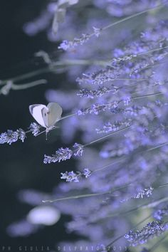 Lavender and Butterfly <3