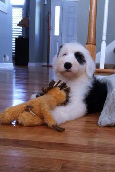 "Old English Sheepdog Puppy ""Sam the Sheepdog"""